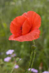 Memorial Day and the Red Poppy
